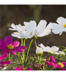 Krásenka zpeřená Sonata - rostlina Cosmos bipinnatus - prodej semen krásenky - 20 ks