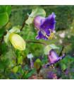 Vilec šplhavý modrý - Cobaea scandens koupit - 0,5 gr
