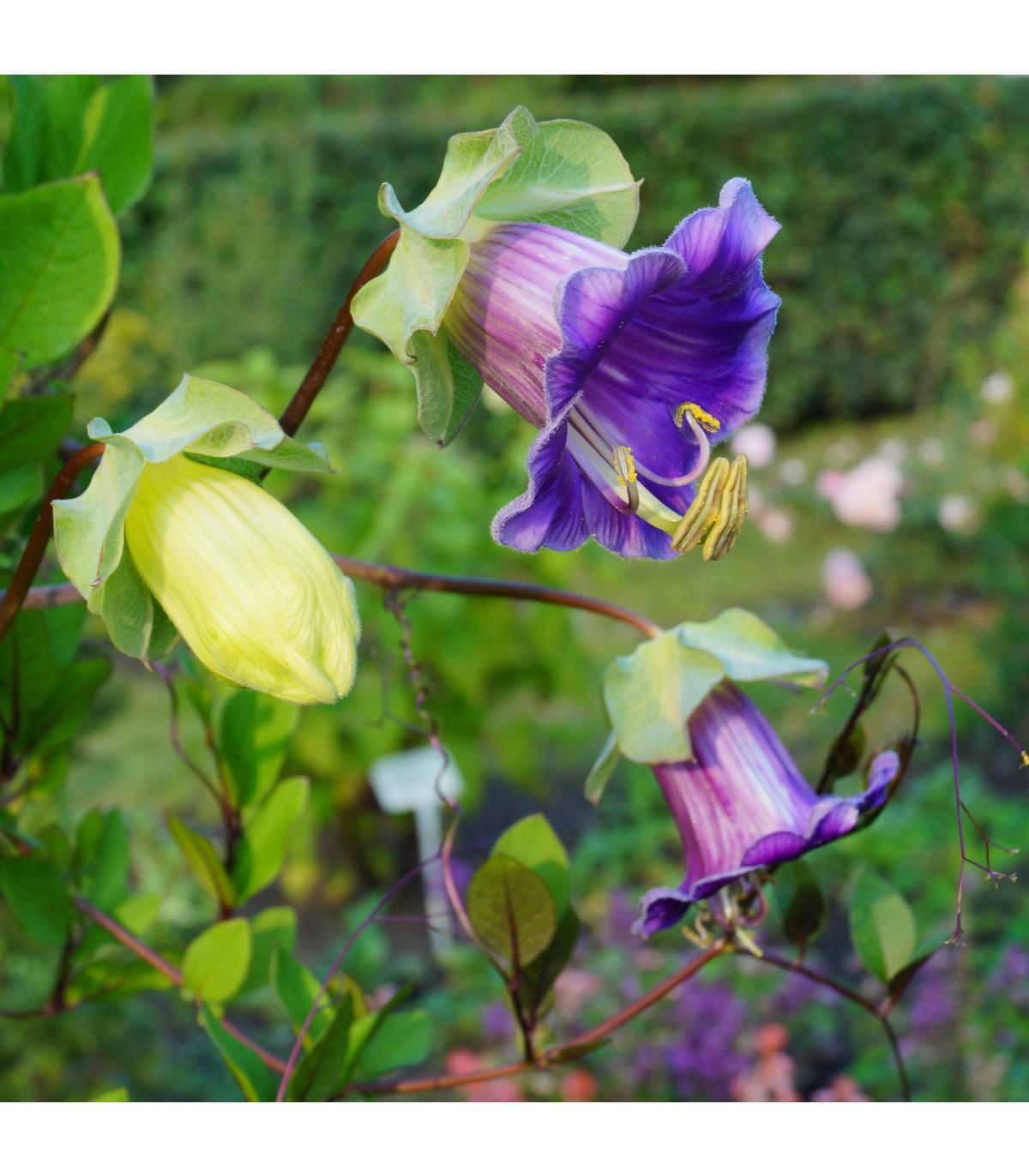 Vilec šplhavý modrý - Cobaea scandens - osivo vilce - 7 ks
