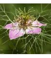 Černucha setá růžová - NIgella Damascena - prodej semen - 0,5 gr