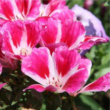 Zářivka velkokvětá - Godetia grandiflora - osivo zářivky - 0,1 g
