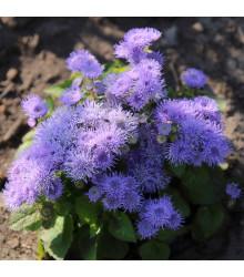 Nestařec mexický - Ageratum pumilum - semena nestařce - 0,5 gr