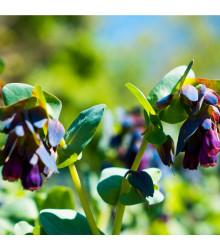 Voskovka větší - Hoya - Cerinthe major purpurescens - 5 Ks