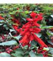 Šalvěj zářivá- Salvia splendens- semena šalvěje- 60 ks