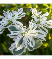 Pryšec vroubený - Sníh na horách - Euphorbia marginata - prodej semen letniček - 20 ks