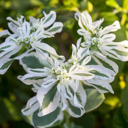 Pryšec vroubený - Euphorbia marginata - osivo pryšce - 20 ks