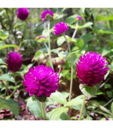 Pestrovka kulovitá fialová - Gomphrena globosa - osivo pestrovky - 25 ks