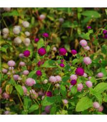 Pestrovka kulovitá směs barev - Gomphrena globosa - osivo pestrovky - 60 ks