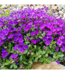 Tařička zahradní fialová - Aubrieta hybrida - prodej semen trvalek - 200 ks