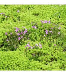 Huseník brvolistý Spring Charm - Arabis blepharophylla - semena trvalek - 30 ks