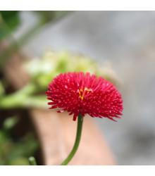 Sedmikráska ponponková červená - Bellis perennis - prodej semen - 0,1 gr