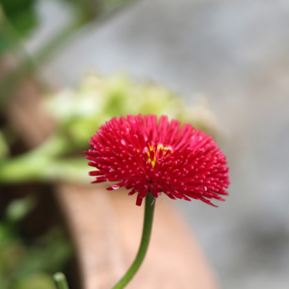 Sedmikráska pomponková červená - Bellis perennis - osivo sedmikrásky - 0,1 g