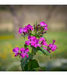 More about Měsíčnice dvouletá fialová - Lunaria biennis - semena měsíčnice - 50 ks
