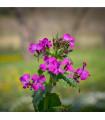 Měsíčnice dvouletá fialová - Lunaria biennis - prodej semen měsíčnice - 1 gr