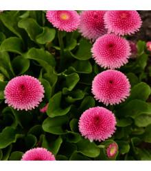 Sedmikráska ponponková růžová - Bellis perennis - osivo sedmikrásky - 0,1 g