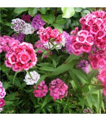 Hvozdík bradatý plnokvětý - směs barev - Dianthus barbatus - semena Hvozdíku - 300 ks