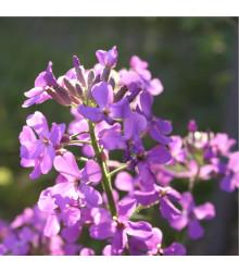 Měsíčnice roční fialová Honesty - Lunaria annua - prodej semínek dvouletek - 50 ks