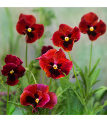 Maceška červená Abendglut - Viola wittrockiana - prodej semen macešek - 200 ks