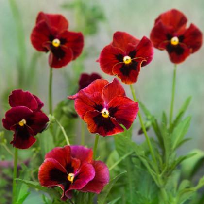 Maceška červená Abendglut - Viola wittrockiana - osivo macešky - 200 ks