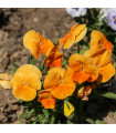 Maceška oranžová švýcarská Schweiter Riesen - Viola wittrockiana - prodej semen macešek - 0,3 gr