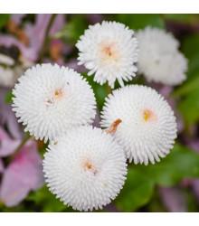 Sedmikráska pomponková bílá - Bellis perennis - osivo sedmikrásky - 0,1 g
