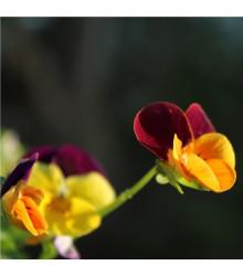 Maceška Jolly Joker F2 - Viola wittrockiana - prodej semen macešek - 20 ks