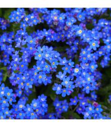 Pomněnka alpská temně modrá - Myosotis alpestris - osivo pomněnky - 130 ks