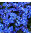Pomněnka alpská temně modrá - Myosotis alpestris - semena pomněnky - 0,1 gr