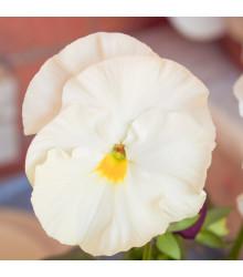 Maceška Schweizer Riesen Firnenschnee - Viola wittrockiana - prodej semen macešek - 200 ks