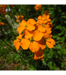 More about Chejr sibiřský - Cheiranthus allionii - semena cejchru - 500 ks