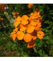 Chejr sibiřský - Cheiranthus allionii - semena cejchru - 1 gr