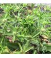 Koriandr mexický - Eryngium foetidum - semena koriandru - 0,02 gr