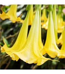 Brugmansie žlutá - Brugmansia sp - prodej semen - 5 Ks
