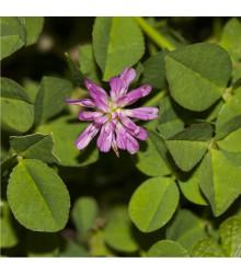 More about Jetel zvrácený - Trifolium resupinatum - semena jetele - 100 ks