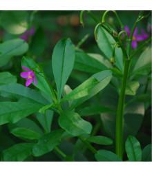 Ženšen korejský - Šrucha latnatá - Talinum paniculatum - semena ženšenu - 15 ks