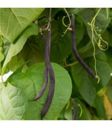 Fazol tyčkový modrý Blauhilde - Phaseolus vulgaris - osivo fazolu - 20 ks