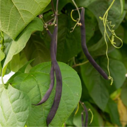 Fazol tyčkový modrý Blauhilde - Phaseolus vulgaris - prodej semen - 2 gr