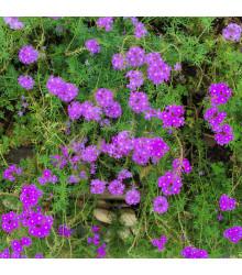 Verbena - Sporýš lékařský - rostlina Verbena officinalis - prodej semen - 200 ks