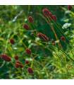 Krvavec toten - Sanguisorba officinalis - prodej semen krvavec - 8 ks