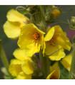Divizna velkokvětá - Verbascum thapsiforme - semena divizny - 300 ks
