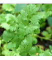 Koriandr setý Chechnya - Coriandrum sativum - semena koriandru - 100 ks
