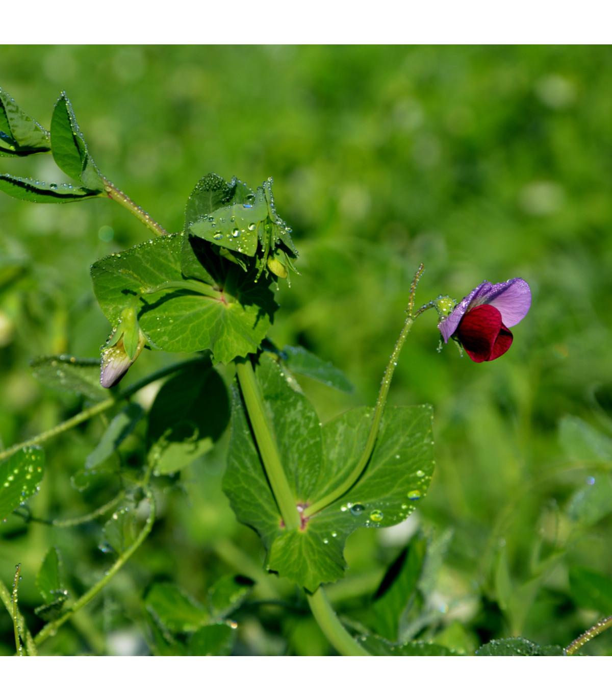 Hrách cukrový pestrobarevný - Pisum sativum - semena hrášku - 8 gr