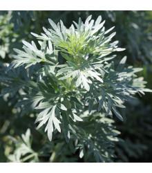 Pelyněk Černobýl - Artemisia vulgaris - semena pelyňku - 0,01 g