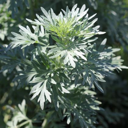 Pelyněk Černobýl - Artemisia vulgaris - prodej semen - 0,01 g