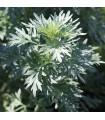 Pelyněk Černobýl - Artemisia vulgaris - prodej semen - 50 ks