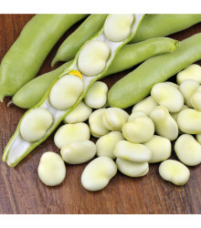 More about Bob obecný - Vicia faba - prodej semen bobu - 15 ks