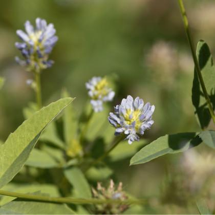 Pískavice modrá - Řecké seno - Trigonella caerulea - prodej semen - 1,5 gr