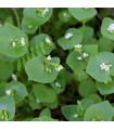 Portulák zimní - Batolka prorostlá - Claytonia perfoliata - 100 ks -