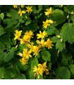 Vlaštovičník větší - rostlina Chelidonium majus - semena léčivek - 30 ks