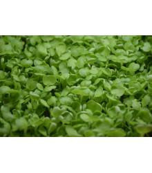 Řeřicha zahradní- semena řeřichy- 1400 ks